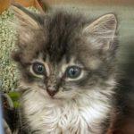 Cute grey tabby kitten