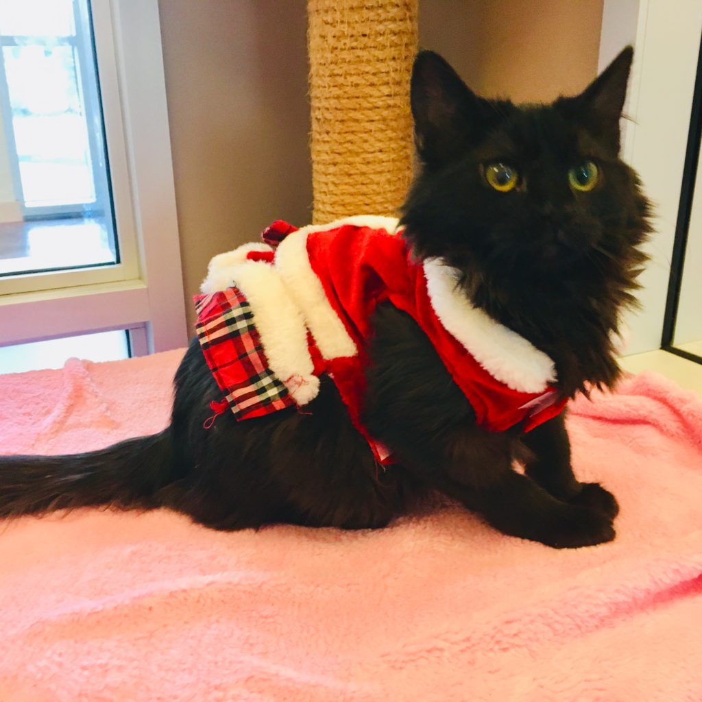 Cat in Christmas Costume