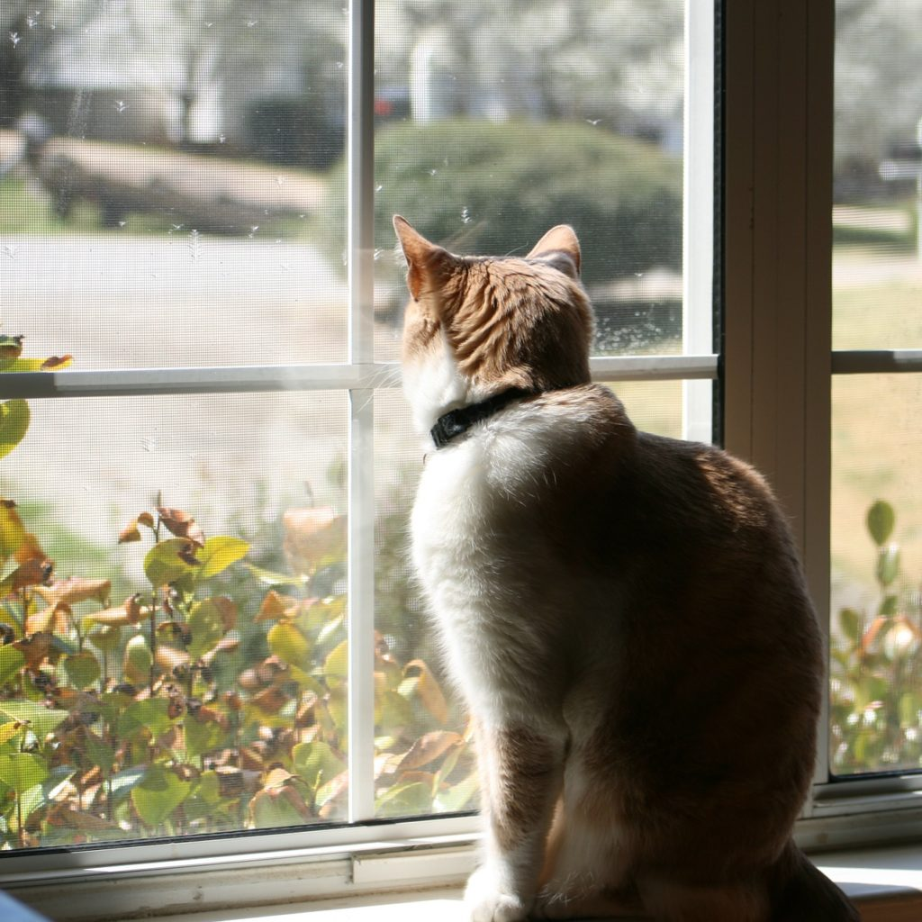 Cat Looking Out Window From Behind