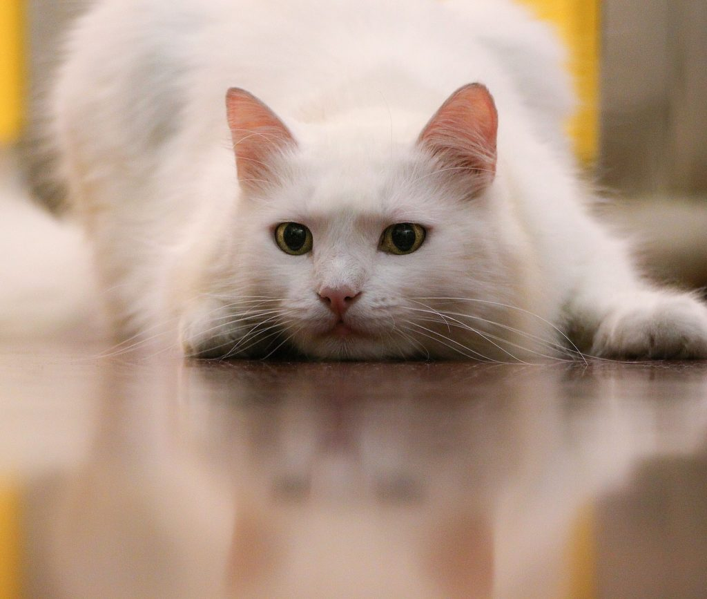 white cat ready to pounce