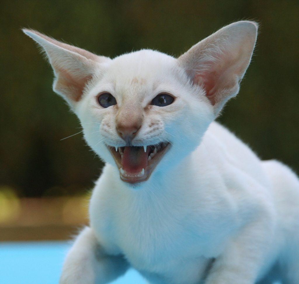 Siamese cat hissing