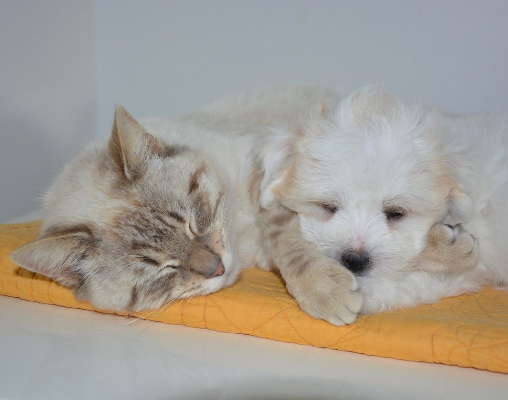 Cat and puppy napping together