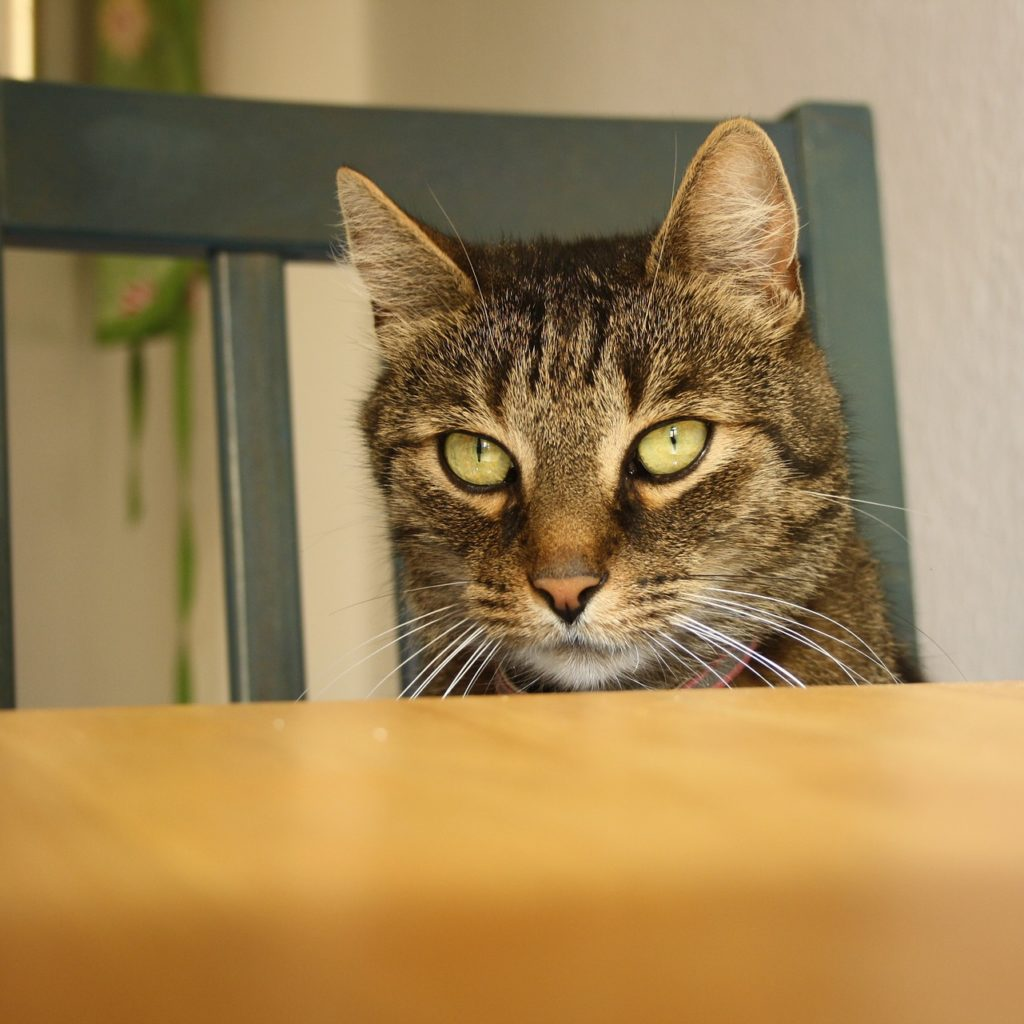 Cat looking over edge of table