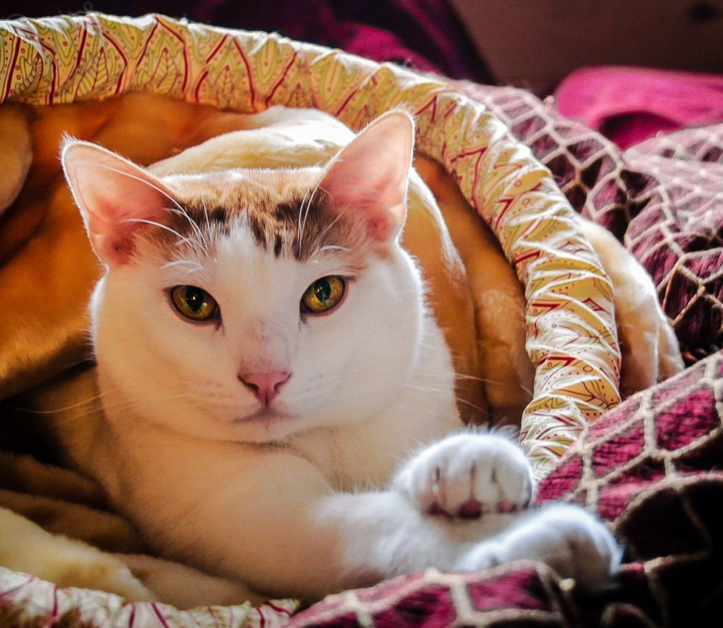 White and tabby cat wrapped in blanket