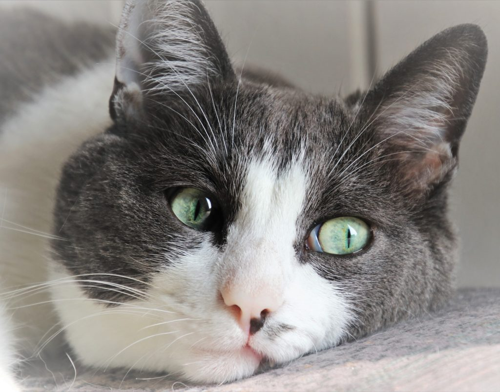 Grey and White cat looking dejected