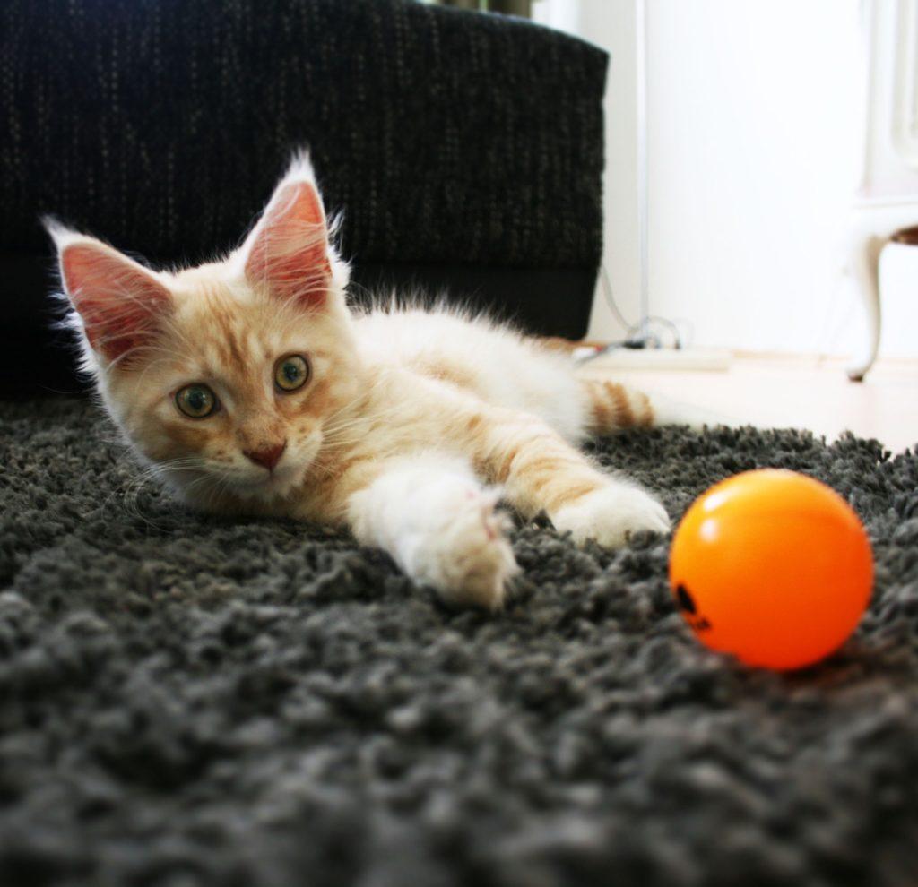 Orange kitten with ping pong ball