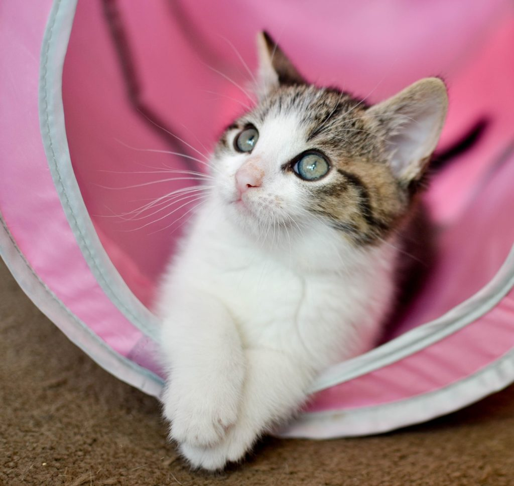 Tabby and white kitten in tunnel