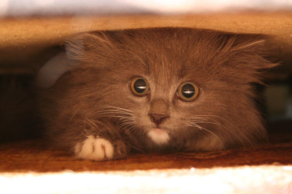 Kitten Hiding Under Sofa