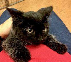 Kitten with dilated pupils and flat ears