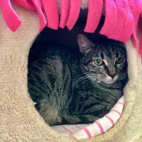 Tabby Cat Hiding